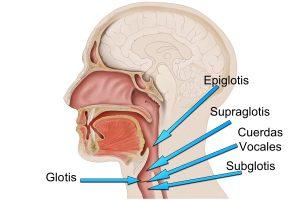 Localización de epiglotis, supraglotis, glotis y subglotis