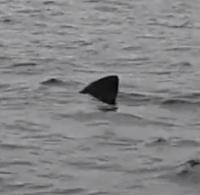 Tiburón (Tiburonazo) en la Ría de Vigo