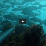 [VIDEO] Robalos gallegos (Islas Estelas / Silleiro)
